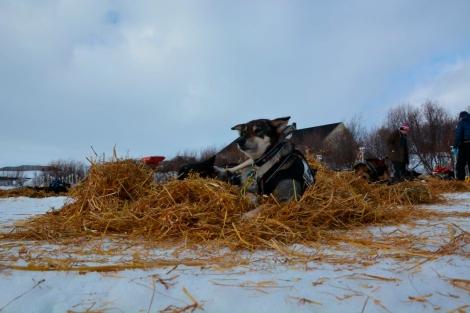 Deilig med en pause i Varangerbotn. Da er halmseng definitivt å foretrekke. Foto: Ole Chr. Gulbrandsen