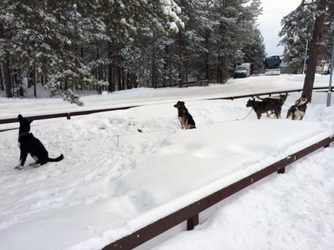 Det var flere hunder som måtte konstatere at Karasjok ble iste stopp i året Finnmarksløp. Foto: Ole Chr. Gulbrandsen