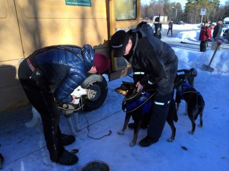 Hundene spennes fast i draget. Her er det Sne som blir festet. Ole Chr. Guldbrandsen