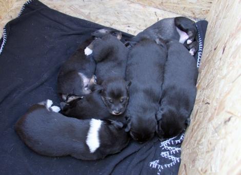 Valpene, sju i tallet, holder varmen sammen i hundehuset, mens Frost er ute en liten tur.