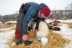 Dag Torulf smører potene til samtlige hunder før de får på seg sokker. Her er det Sne sin tur. Foto: Eirik Palm