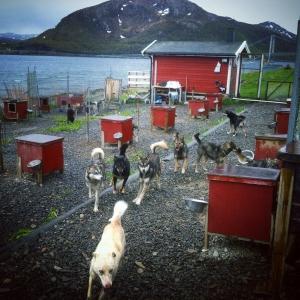 Hundene får løpe løse en stund inne på kennelen i Stallogargo. Det er stas. Foto: Ingrid Amundsen